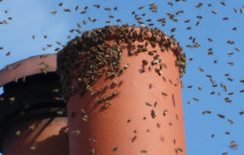 Bees round chimney pot