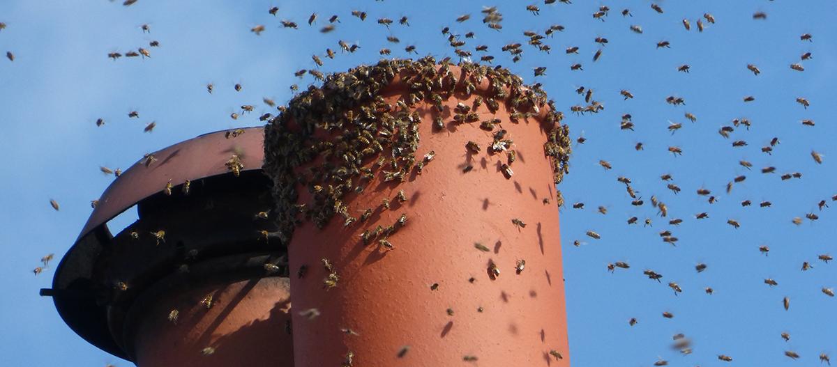 Bees round chimney pot